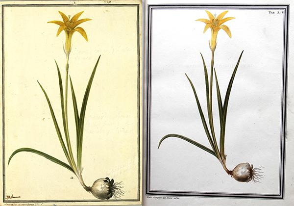 Dibujo de Amarillis aurea (actualmente Pyrolirion arvense) realizado por José Brunete (izquierda), Archivo del Real Jardín Botánico (AJB), AJB04 - 0542. La copia (derecha) es obra de José Joaquim da Silva, (AHMUHNAC, RES.2, vol. 2, Tab. 208). Fotografía A.M. Costa.